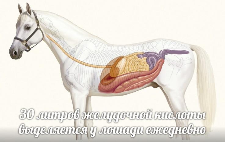 желудочная кислота в желудке лошади
